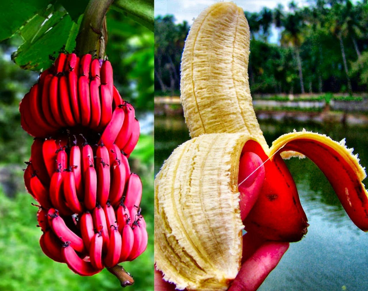 صور ما هو الطلح المنضود , ثمرة الموز طعام اهل الجنة