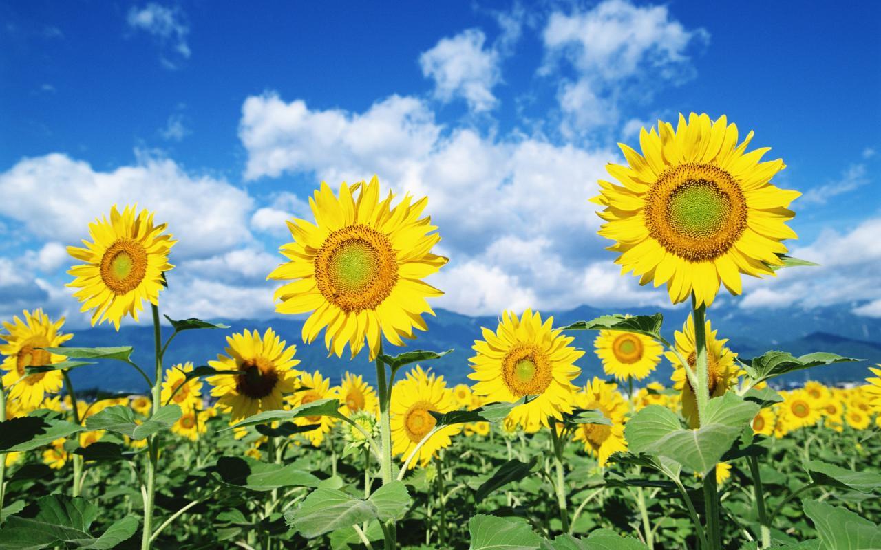 صور زهور عباد الشمس , زهرة جميلة و مفيدة
