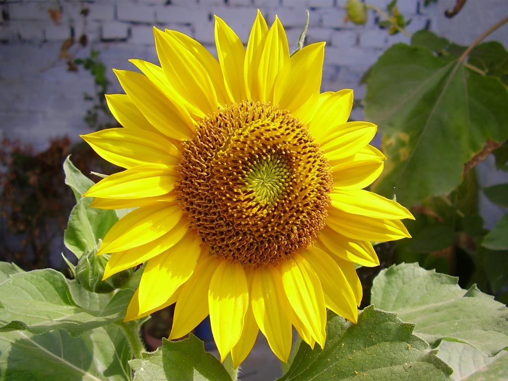 صورة زهور عباد الشمس , زهرة جميلة و مفيدة