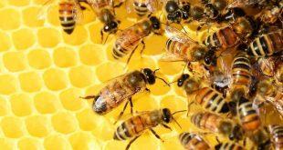 صور بحث عن النحل , ماهي تعرف علي كل مايخص النحل
