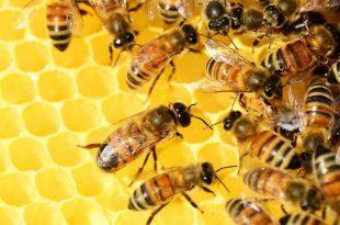صورة بحث عن النحل , ماهي تعرف علي كل مايخص النحل