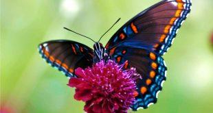 صور تفسير رؤية الفراشة , ما هو تاويل رؤية الفراشه في المنام