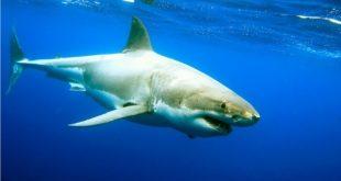 صور انواع اسماك القرش , ما لا تعرفه عن عالم البحار