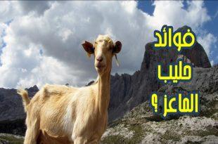 صور فوائد حليب الماعز للبشرة , حافظي على نضارة بشرتك بحليب الماعز