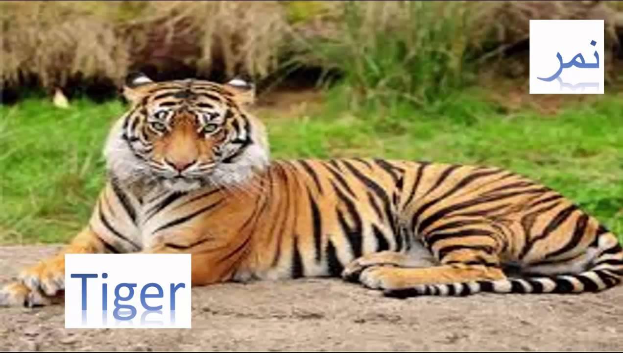 صورة كلمة نمر بالانجليزي , احذر من النمر