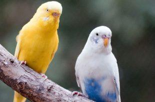 صور طيور الحب تتكلم , طيور الجمال