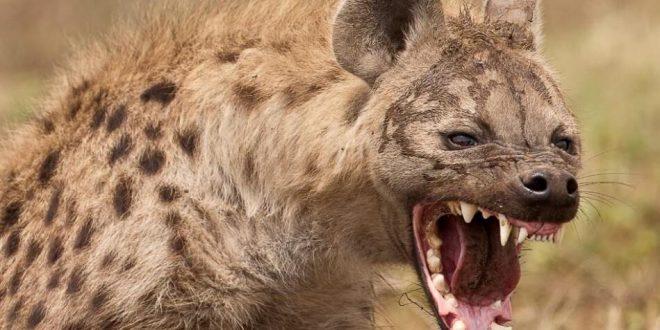 صورة صور حيوانات برية , اشهر الحيوانات البريه في العالم