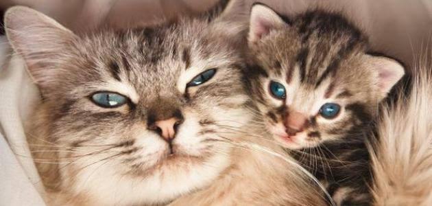 صورة كم مدة حمل القطط , حيوان اليف وجميل للتربيه والبيع