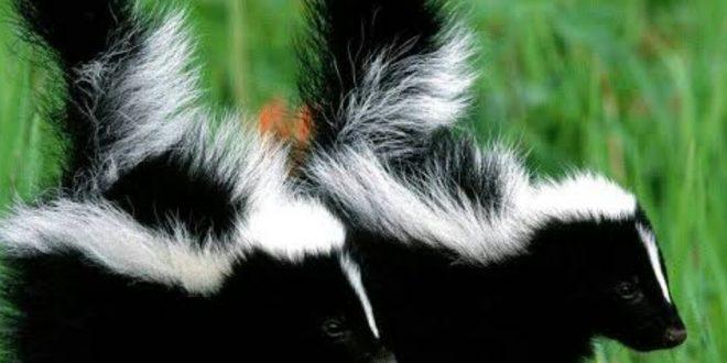 صورة حيوان ذو رائحة كريهة , تعرف علي بعض المعلومات