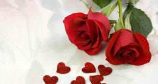صورة اجمل وردة حمراء , عطتنا ورده فرجتها لصحابي