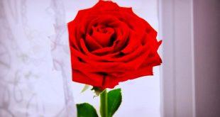 صورة صور ورد احمر رومانسي , اجمل تشكيله صور ورد احمر