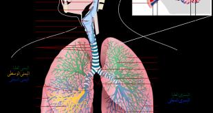 صورة صور الجهاز التنفسي , اعرف ما لا تعرفه عن الجهاز التنفسي