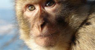 صورة ما اسم انثى القرد , القرد يشبه الانسان بحاجات كتيرة اعرفها