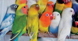 صورة اسماء عصافير الحب , كل عصفور اسمه علي حسب الوانه