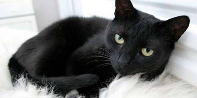 صورة الحلم بالقطط السوداء , حلمت اني رايت قطه سوداء