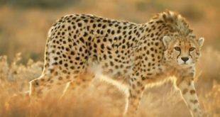 صورة رؤية الفهد في المنام , حلمت انك شفت الفهد شوف التفسير